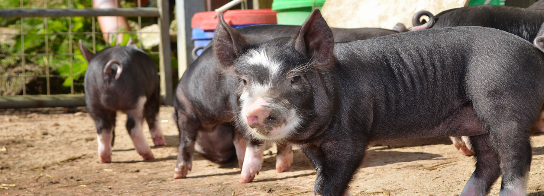Pig Breeders in Devon